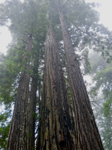 Photo unrelated to post.  Just a nice photo of redwoods from the archive.